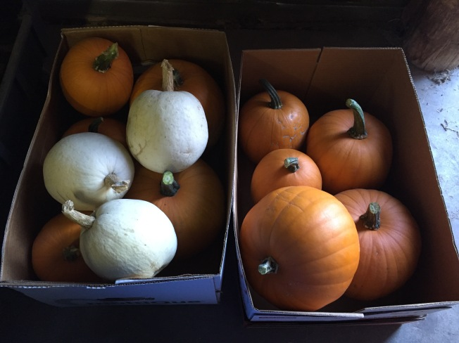 my-first-pumpkin-harvest